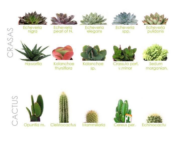 crasas y cactus