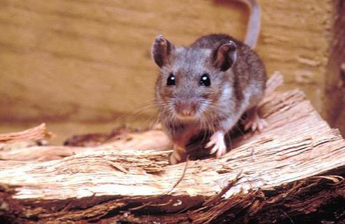 hantavirus ratones 2